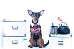 Dog office worker. A dog in a tie and a white collar in the office. Russian Toy Terrier. Royalty Free Stock Photography