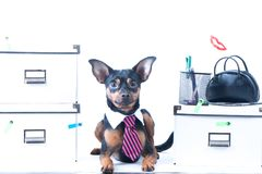 Dog office worker. A dog in a tie and a white collar in the office. Russian Toy Terrier. Director, Manager, Worker fun stock photos