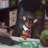 Dog office worker. A dog in a tie and a white collar in the office.Director, Manager, Worker fun. Dog office worker. A dog in a tie and a white collar in the stock photo
