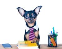Dog office worker isolated. A dog in a tie and a white collar in. The office. Russian Toy Terrier. Director, Manager, Worker fun royalty free stock photography