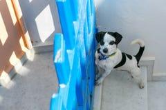 Dog in Oia, Santorini, Greece Royalty Free Stock Photo