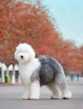 Dog Old English Sheepdog. Autumn is dog  maple leaf Stock Photography