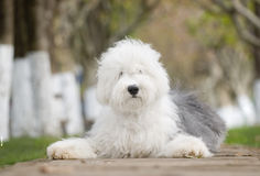 dog Old English Sheepdog Royalty Free Stock Photography