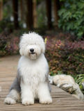 Dog Old English Sheepdog Stock Photos