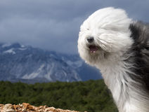 dog Old English Sheepdog Royalty Free Stock Photos