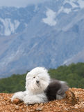 Dog Old English Sheepdog. A dog stands on the peak Royalty Free Stock Photo