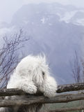 Dog Old English Sheepdog. A dog stands on the peak Royalty Free Stock Image