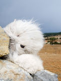 Dog Old English Sheepdog. A dog stands on the rock Royalty Free Stock Photo