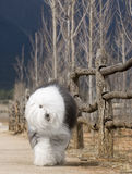 Dog Old English Sheepdog. A dog stands is comeing run Royalty Free Stock Photography