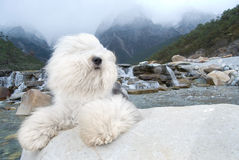 Dog Old English Sheepdog. A dog stands on rock river Stock Photo