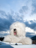 Dog Old English Sheepdog. A dog stands on car Royalty Free Stock Photo
