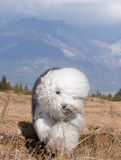 Dog Old English Sheepdog. A dog stands on grass Stock Images