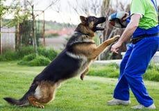 Dog, Old German Shepherd Dog, Dog Like Mammal, Dog Breed royalty free stock photography