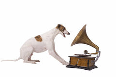 Dog and old gramophone. Greyhound and an old gramophone isolated on a white background Stock Image