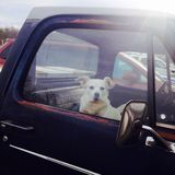 Dog in an old pickup truck. Stock Photos