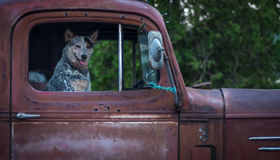 Dog in old red pickup truck Royalty Free Stock Photos