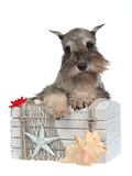 Dog with old treasure chest. Bearded dog with old treasure chest Royalty Free Stock Photo