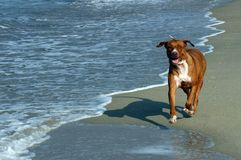 Dog On Beach, Puerto Escondido Stock Photo
