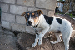 Free Dog On The Chain Portrait Stock Photo - 27131130