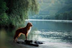 Free Dog On The Lake. Nova Scotia Duck Tolling Retriever In Nature. Stock Photo - 135049370