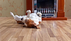 Free Dog On Wooden Floor Stock Images - 66892124