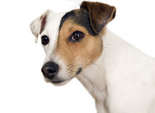 Dog with one brown eye is watching Royalty Free Stock Photos
