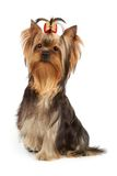 Dog with one paw up Stock Photography