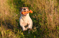 Dog with open jaws ans nice teeth catching a bone. Jack Russell Terrier pet playing with a toy Stock Photo