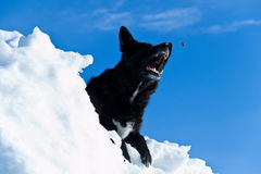 Dog with open mouth. Black dog who is about to catch a bite to eat Royalty Free Stock Photo