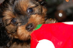 Dog opening Christmas Present. Our Puppy having a good time trying to open her present in her own way Royalty Free Stock Photo