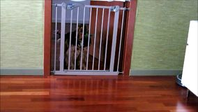 Dog opening safety gate in home. Video clip of English cocker spaniel dog opening child safety gate in house or home stock footage