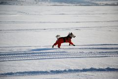 Dog in an orange overalls and boots. On walk in winter stock photos