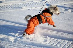 Dog in an orange overalls and boots. On walk in winter royalty free stock photos