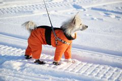 Dog in an orange overalls and boots. On walk in winter royalty free stock photography