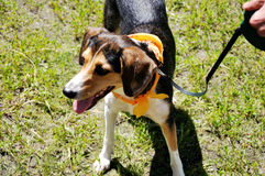 Dog with orange ribbon Stock Photo