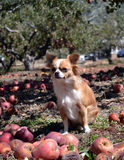 Dog in the orchard royalty free stock photography