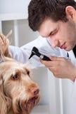 Dog during otoscope examination. With male vet Stock Photo