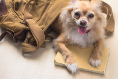 Dog out of bag Royalty Free Stock Image