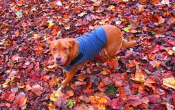 Dog out playing  in the fall leaves Royalty Free Stock Image