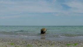 Dog out of the Water stock footage