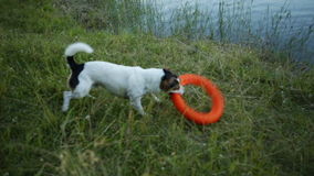 Dog out of the water and shakes. Small dog breed Jack Russell Terrier out of the water with a toy and shakes stock video