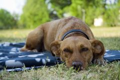 Dog outdoor. A brown dog outdoor on a dog-blanket stock photos