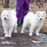 Dog outdoor training process Stock Image
