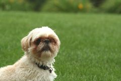 Dog outdoors. Dog sitting outdoors in green lawn Royalty Free Stock Photography