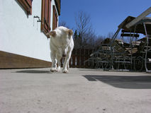 Dog outdoors. White dog outdoors on terrace of building Royalty Free Stock Image