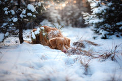 Dog outdoors in Christmas trees, winter mood Stock Photos