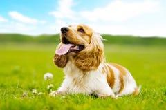 Dog outdoors. A Funny spaniel dog outdoors Stock Photos