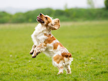 Dog outdoors jumping up Stock Image