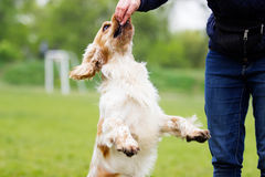 Dog outdoors jumping up Royalty Free Stock Photography
