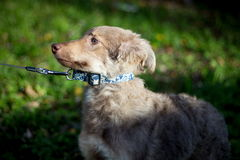 Dog outdoors. Dog walks in the collar Royalty Free Stock Photo